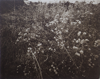 Dune Flowers, photogravure